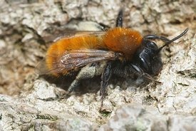 Close up of a female tawny mining bee, Andrena fulva