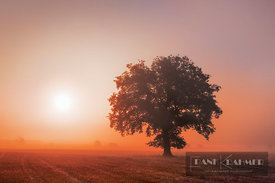 Oak in mist (lat. quercus) - Europe, Germany, Bavaria, Upper Bavaria, Starnberg, Seefeld, Delling (Fünfseenland) - digital - ...