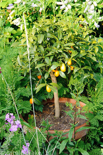 A small potted citrus tree is dropped into the front of a border.