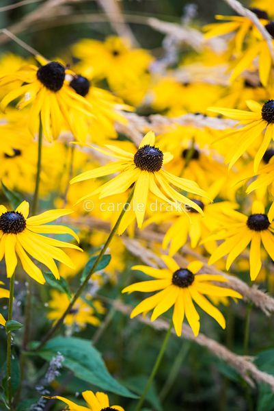 Rudbeckia fulgida var. deamii in September