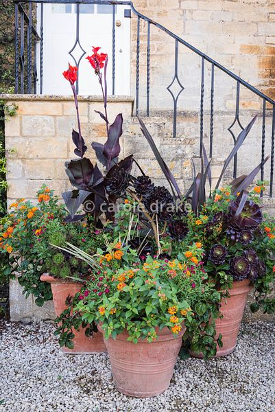 Containers featuring Aeonium 'Zwartkop', Lantana camara, purple-leaved canna and purple phormium at Bourton House, Moreton-in...