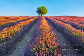 Lavender field with almond tree (lat. lavandula) - Europe, France, Provence-Alpes-Cote d'Azur, Alpes de Haute Provence, Forca...