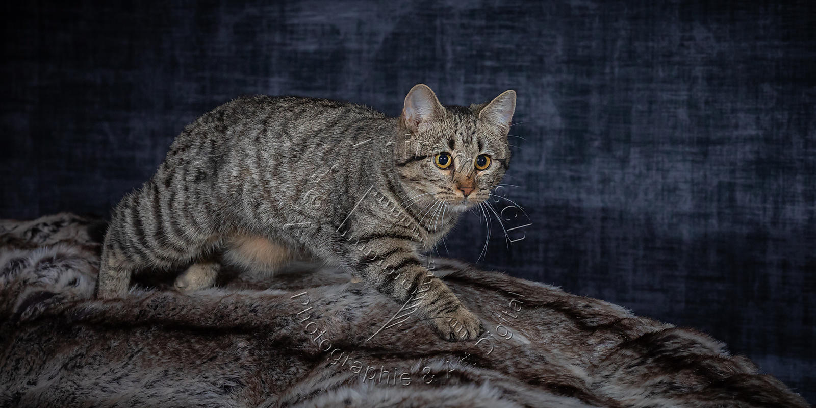 Photographie-Alain-Thimmesch-Chat-1088