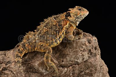 Mountain horned lizard(Phrynosoma orbiculare cortezii)
