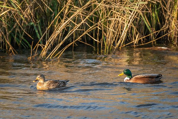 Couple of wild ducks on river Gein