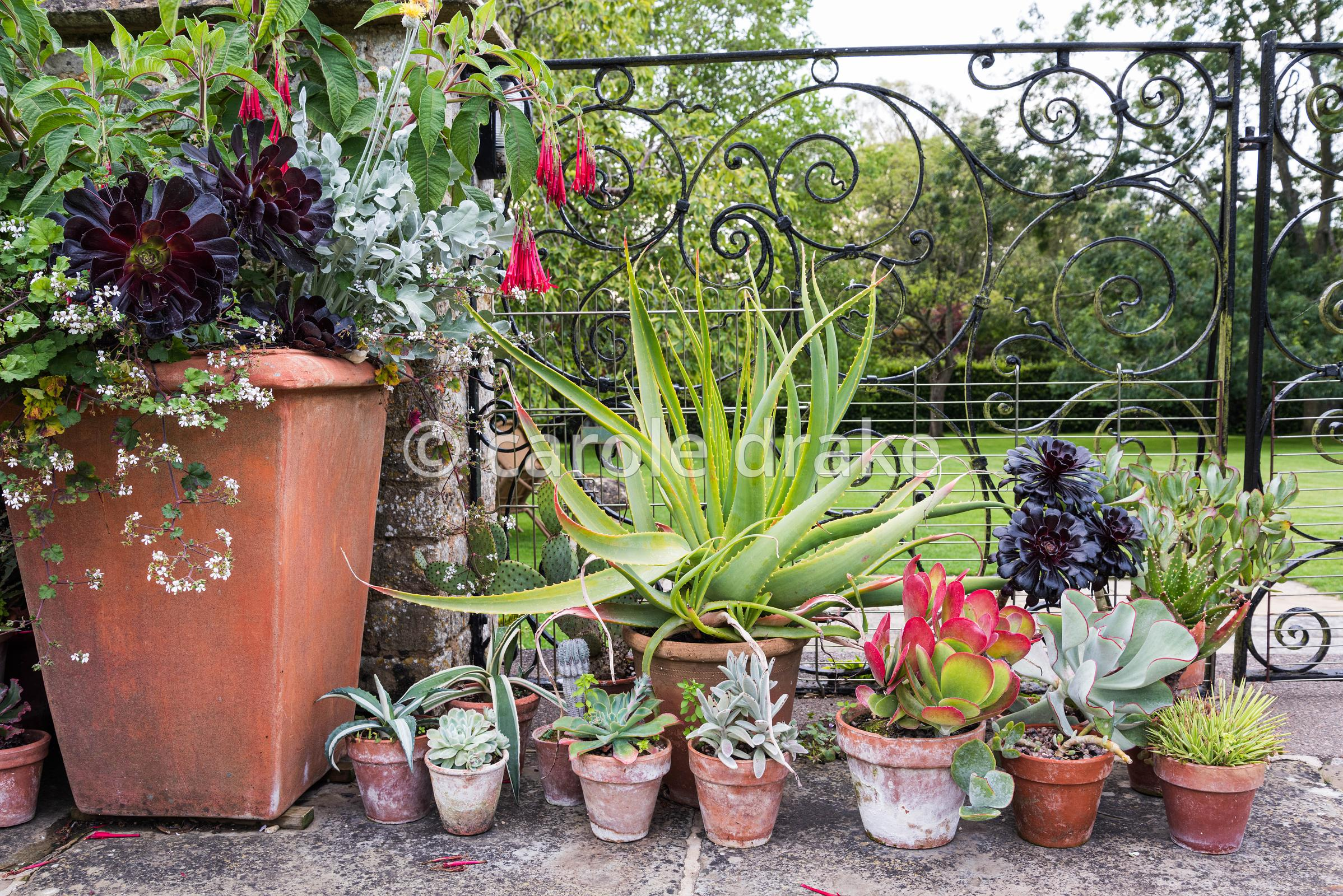 Pots of succulents beside a container planted with Aeonium 'Zwartkop', Pelargonium australe and  Fuchsia corymbifolia at Bour...