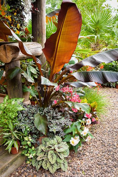 Plants cluster around the steps of the Jungle Hut including begonias, Tradescantia 'Zebrina' and Ensete ventricosum 'Maurelii...