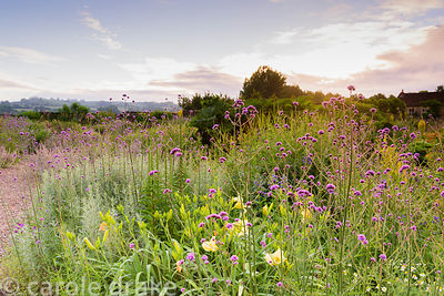Gravel garden planted with Verbena bonariensis, day lilies and artemisia at the Yeo Valley Organic Garden, Blagdon, Somerset ...