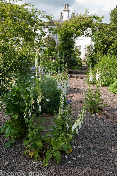 Self seeded white foxgloves in gravel path with rose arch beyond. Mindrum, nr Cornhill on Tweed, Northumberland, UK