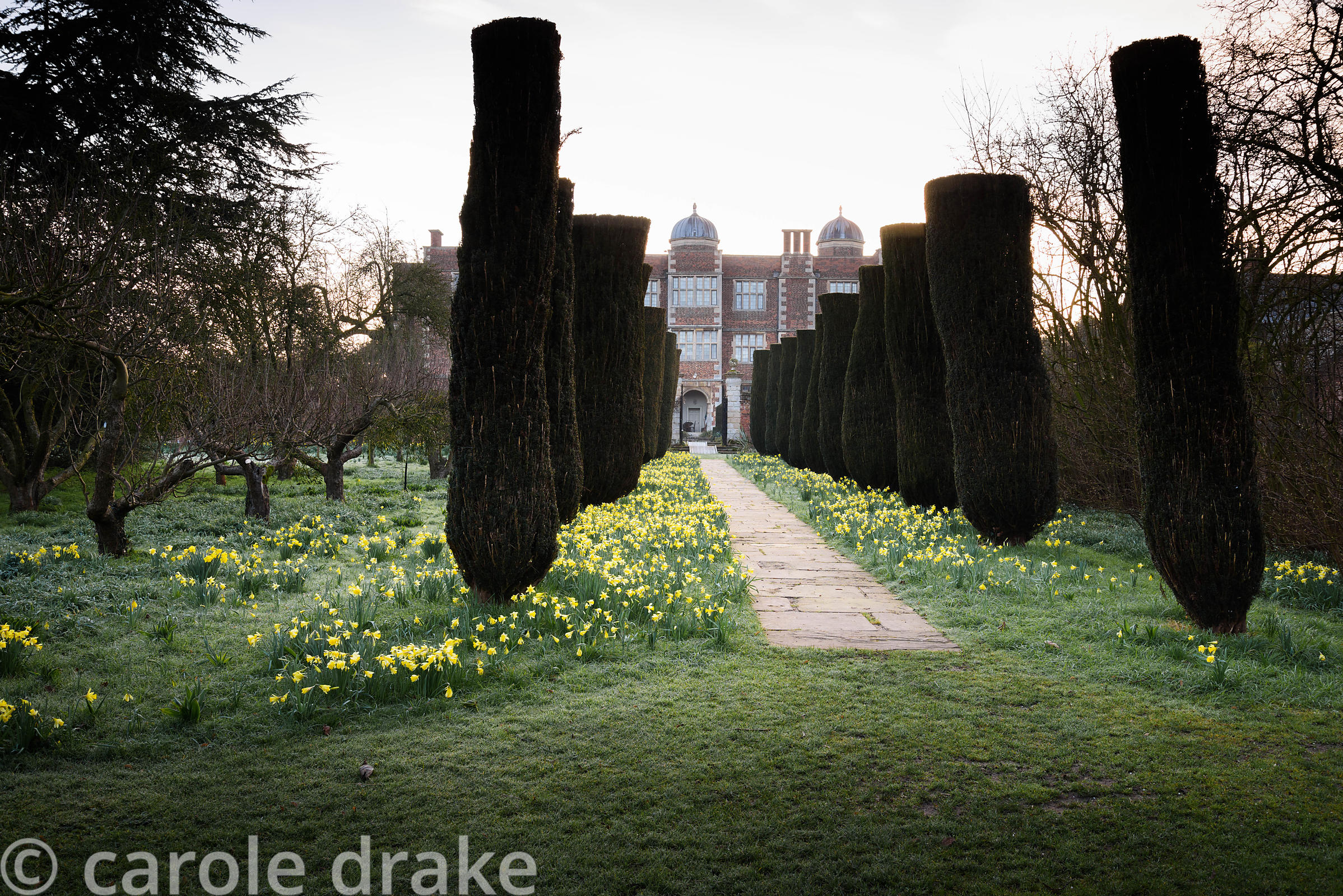 Yew avenue surrounded by naturalised daffodils at Doddington Hall, Lincolnshire in March