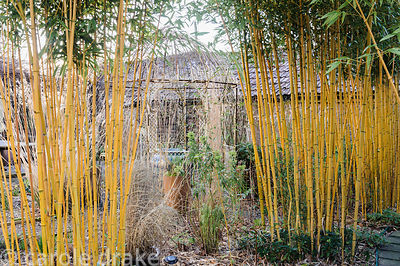 Screens of yellow caned  Phyllostachys aureosulcata f. spectabilis on the Sunken Terrace. Barn House, Brockweir Common, Glos, UK