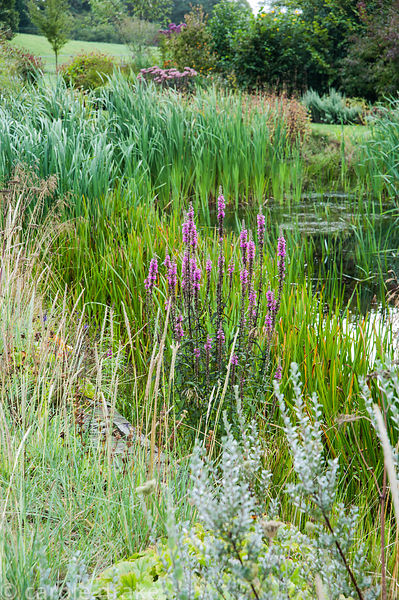 Wildlife pond surrounded by rushes, grasses and purple loosestrife. Rhodds Farm, Kington, Herefordshire, UK