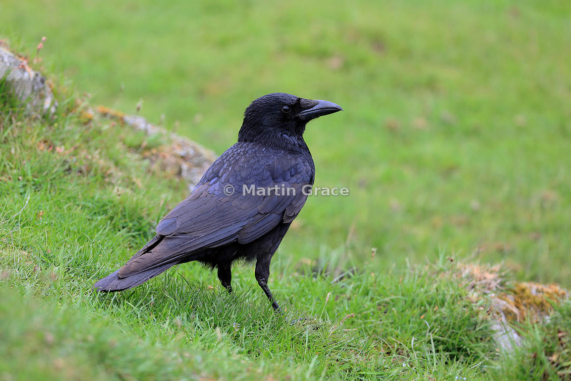 Carrion Crow (Corvus corone), Kincraig, Inverness-shire, Scottish Highlands