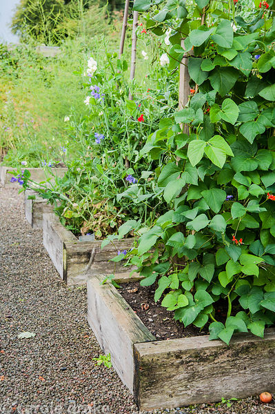 Kitchen and nursery garden with raised beds for growing crops including runner beans, annuals such as sweet peas and new orna...