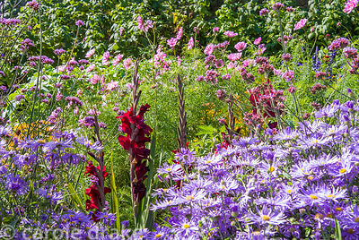 Deep red gladioli surrounded by purple Aster x frickartii 'Monch'. Haddon Lake House, St Lawrence, Isle of Wight, UK