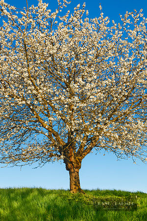 Cherry in bloom (lat. prunus) - Europe, Germany, Bavaria, Upper Bavaria, Freising, Allershausen - digital