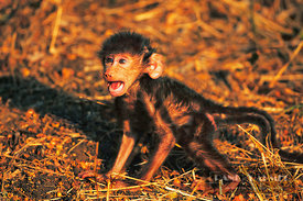 Chacma baboon Newborn cries for mother (lat. papio ursinus) - Africa, South Africa, Mpumalanga, Kruger National Park, Lower S...