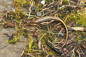Full body shot of a Dunn's salamander , Plethodon dunni open on the ground in Columbia river gorge, Oregon