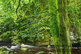 European beech with moss (lat. fagus sylvatica) - Europe, United Kingdom, Northern Ireland, Fermanagh and Omagh, Fermanagh, B...