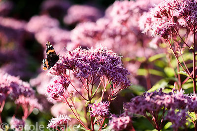 Red Admiral, Vanessa atalanta, on Eupatorium 'Purple Bush' in September. Cambo Gardens, Fife, Scotland