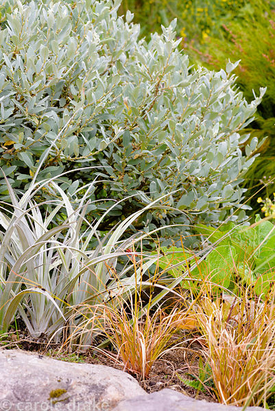 Foliage planting of Carex distans, silvery Astelia nervosa and willow, Salix helvetica, in the garden at 2 Durnamuck, Little ...