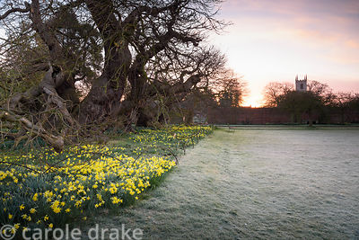 The croquet lawn on a frosty March morning at Doddington Hall, Lincolnshire bordered by naturalised daffodils beneath ancient...