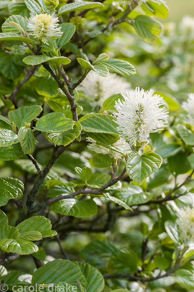 Fothergilla major Monticola group