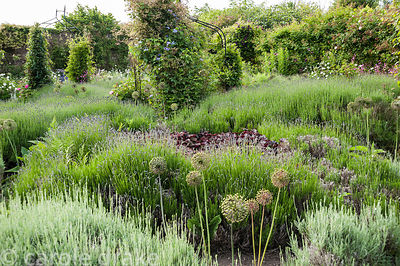 Beds full of lavender, allium seedheads and deep red heuchera surrounding clematis growing up metal obelisks. Littlebredy Wal...