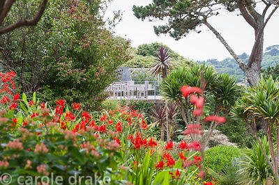 Terrace framed by cordylines, crocosmias, hypericums and watsonia