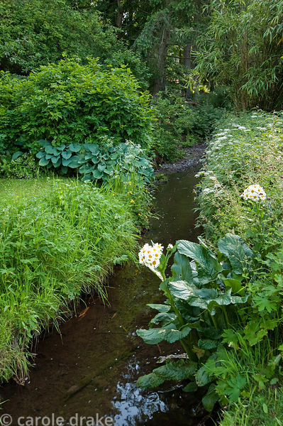 Stream running through the garden edged with Senecio smithii and cow parsleys. Mindrum, nr Cornhill on Tweed, Northumberland, UK