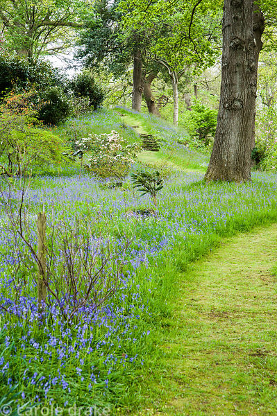 Carpets of bluebells and starry white greater stitchwort surround tall oaks and choice shrubs in the Dell.