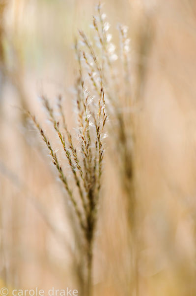 Miscanthus sinensis 'Starlight'. Barn House, Brockweir Common, Glos, UK