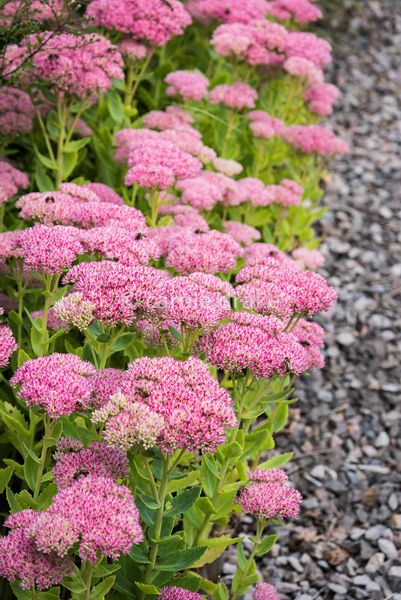 Sedum spectabile edging a gravel path at Barn House, Gloucestershire in September