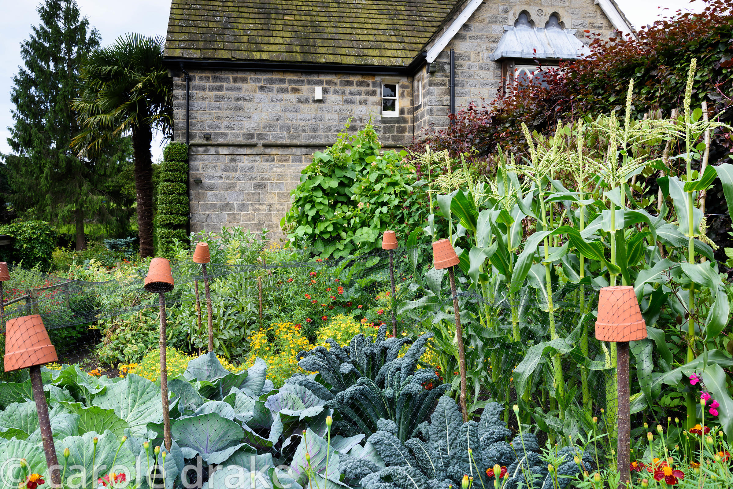 Kitchen garden with terracotta pot topped supports draped with protective netting over kale and cabbages, marigolds and tall ...