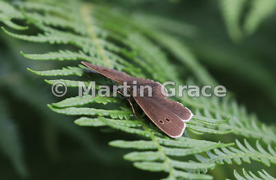 Ringlet butterfly (Aphantopus hyperantus) resting on Common Bracken (Pteridium aquilinum), Whitbarrow Fell, Cumbria, England