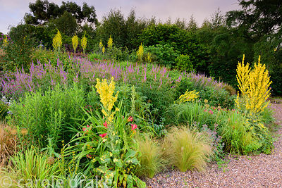 Gravel garden planted with Veronicastrum virginicum 'Fascination', Verbascum olympicum and Stipa tenuissima at the Yeo Valley...