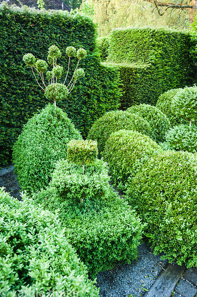 Topiary garden filled with low clipped box bushes surrounded by yew hedges. Tony Ridler's Garden, Cockett, Swansea, UK