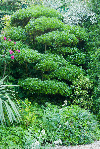 Cloud pruned Phillyrea angustifolia. Private garden, Dorset, UK