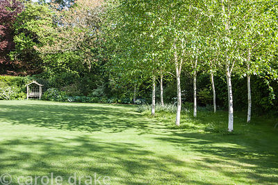 A small grove of white stemmed birches, Betula utilis var 'Jacquemontii'.