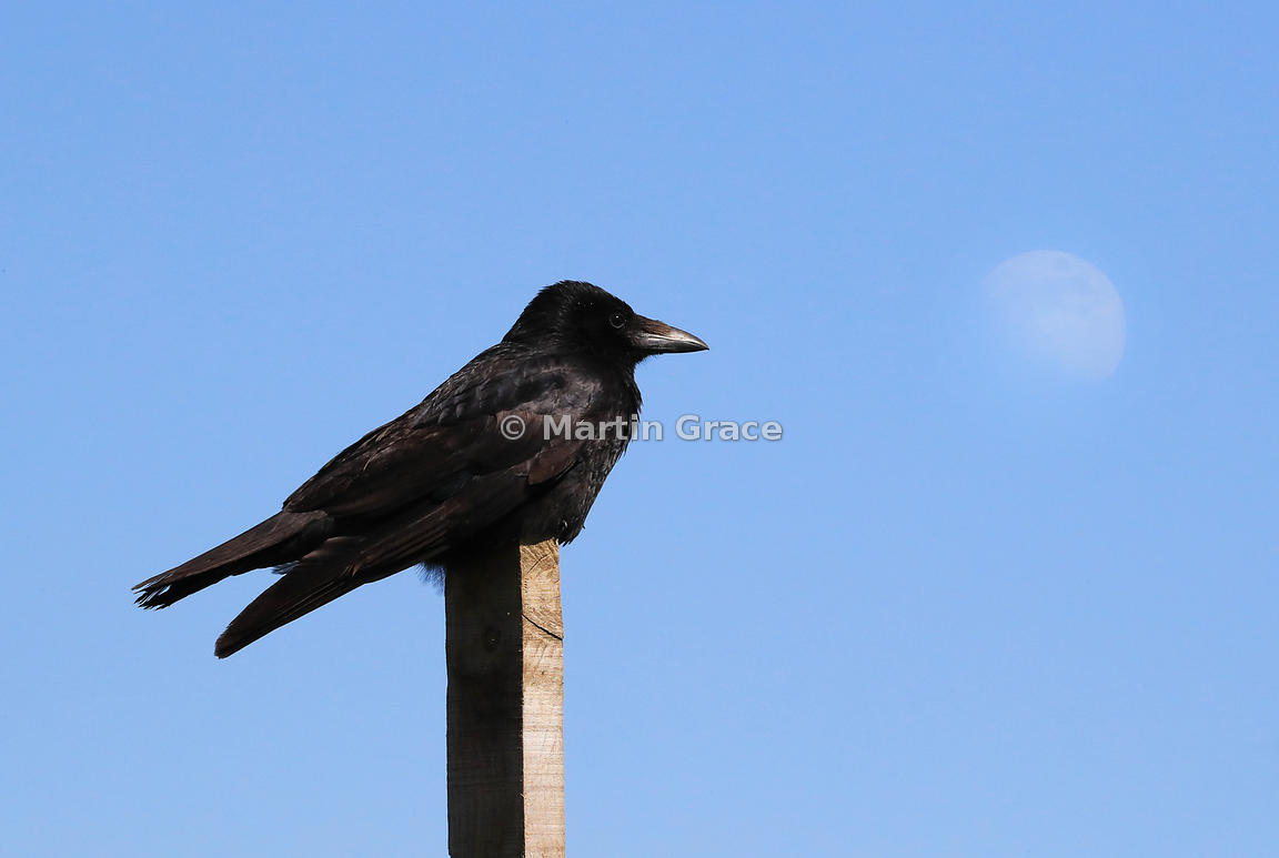 Carrion Crow (Corvus corone) sitting on a post with the moon behind in a blue daytime sky, Kincraig, Inverness-shire, Scottis...