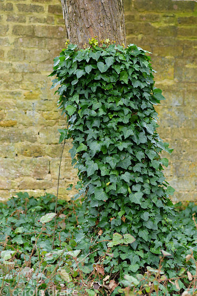 Ivy allowed to grow up the lower part of a tree trunk but no further at Bourton House garden in the Cotswolds in January