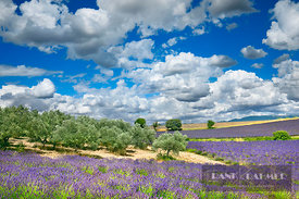 Lavender field and olive grove (lat. lavandula) - Europe, France, Provence-Alpes-Cote d'Azur, Alpes de Haute Provence, Forcal...