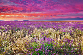 Lavender field with grasses (lat. lavandula) - Europe, France, Provence-Alpes-Cote d'Azur, Alpes de Haute Provence, Forcalqui...