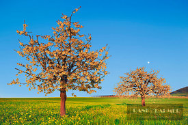Cherry plantation in bloom (lat. prunus) - Europe, Switzerland, Aargau, Aarau, Oberhof - digital