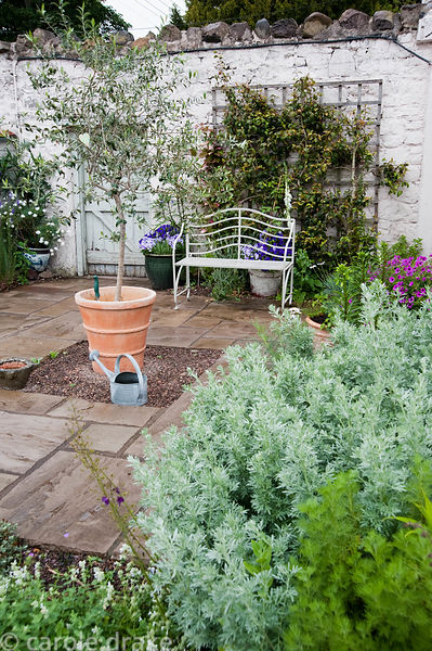 Terrace near the house with olive tree, white metal bench, containers of violas and self seeded white foxgloves. Mindrum, nr ...