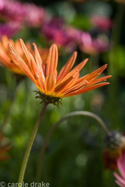 Orange osteospermum. Haddon Lake House, St Lawrence, Isle of Wight, UK