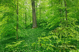 Beech forest with bear garlic (lat. fagus sylvatica) - Europe, Germany, Baden-Württemberg, Freiburg, Konstanz, Dettingen, Lan...