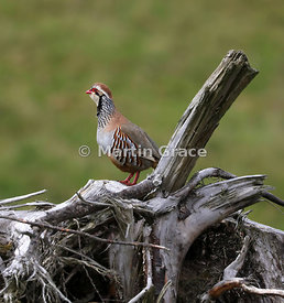 Red-Legged (French) Partridge (Alectoris rufa) posing on an untidy wood pile, Badenoch & Strathspey, Inverness-shire, Scottis...