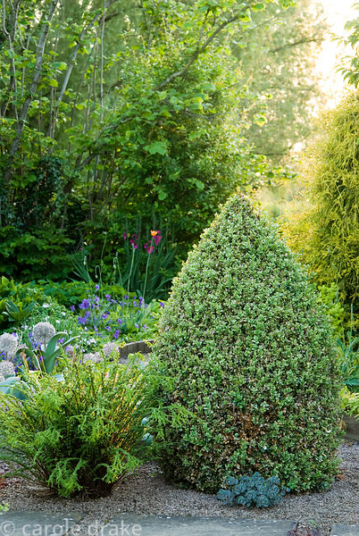 Clipped cones of Buxus sempervirens 'Elegantissima' frame a path of slabs set into gravel. Ivy Croft, Leominster, Herefordshi...