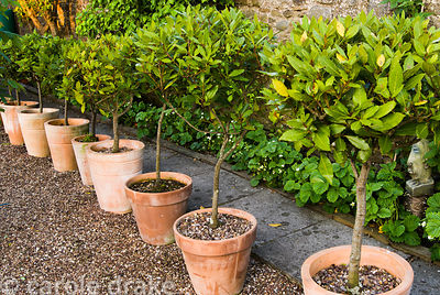 Line of standard bays in terracotta pots. 24 Bude Street, Appledore, Devon, UK